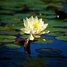 Beautiful Lone Lilly by HeavenOnEarth