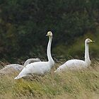 Whooper Swan Family in the Rain by kernuak