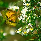 Orange Sulphur Delight by Brenda Burnett