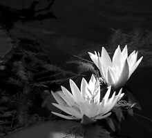 Radiant Water Lilies by Brian Gaynor