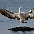 Pelican I Am by Ian Creek