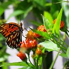 Butterfly Checking Out The Orange Flowers by Cynthia48