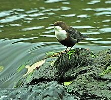 Adult Dipper by Russell Couch