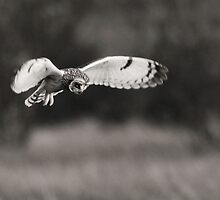 Short-eared Owl Hover by Nigel Tinlin