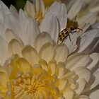 Last Chrysanthemum  by Joe Jennelle