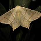 Swallow Tail Moth by jesika