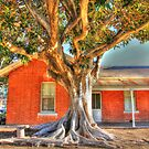 """Moreton Bay Fig Tree"" by jonxiv"