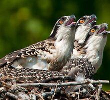 Osprey Chicks by Bill Maynard