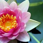 Pink Water Lily by Amanda Roberts