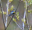 little warbler by Jean Poulton