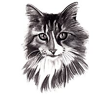 Sookie - the Maine Coon cat Photographic Print