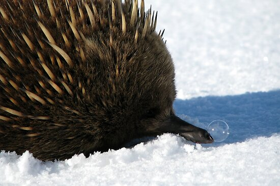 Echidna Sniffles by Josh Bush