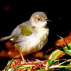 Camaroptera brevicaudata (Grey-backed camaroptera) by Graeme Mockler