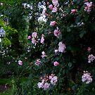 Albertine Rose by Gabrielle  Lees