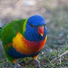 rainbow lorikeet by dpbphotography