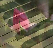Piano Keys and Rose by WeeZie