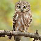 Northern Saw-whet Owl Perching Pretty. by Daniel Cadieux