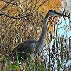 Blue Heron by Virginian Photography (Judy)