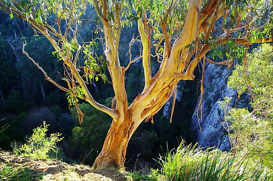 Gum on Edge of Agnes Falls Gorge by Bette Devine