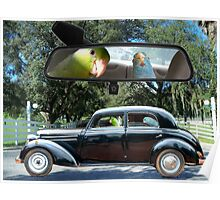 Driving Miss Daisy Parrotlet Birds driving in Florida Poster
