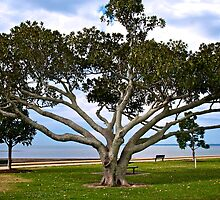 Moreton Bay Fig Tree at Wellington Point by Renee Hubbard Fine Art Photography