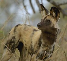 African Wild Dog - South Africa by Austin Stevens