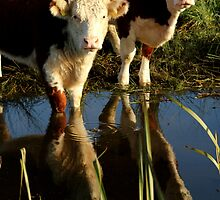 Cows Reflecting by Mjay