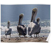 Group of migrant pelicans at the beach of Puerto Vallarta - Grupo de pelicanos migrantes en la Bahia de Puerto Vallarta Poster