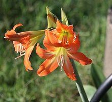 Cluster of Lillies by cathywillett
