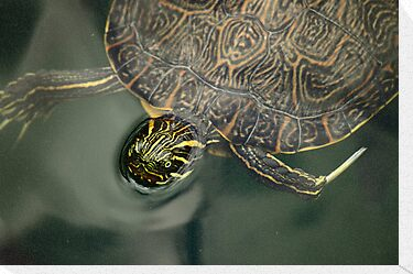 Turtle by RoomWithAMoose