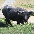 Water buffalo by machka