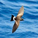 Wilson&#x27;s Storm Petrel taken The Shoals off Port Stephens by Alwyn Simple