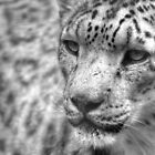 Snow leopard by Mark Thompson