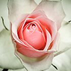 vintage rose by martine fitchett