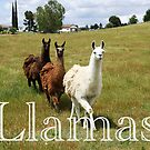 Llamas by Doty