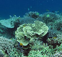 Coral at Wayag I by Dr Andy Lewis