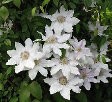 A Whiter Shade of Pale - Delicate Clematis Blossoms by kathrynsgallery