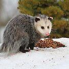 Opossum by Karol Livote