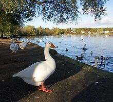 Geese at Linlithgow Loch by Tom Gomez