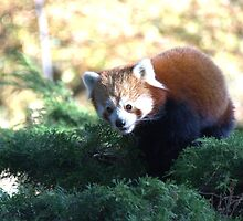 the little red Panda bear by sharkyvin