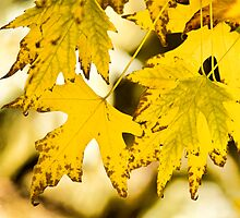 Autumn Maple Leaves by Bo Insogna