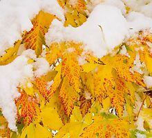 Fresh Snow on Colorful Autumn Leaves by Bo Insogna