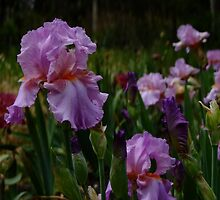 Bearded Iris - Persian Berry by Gabrielle  Lees