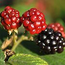 Autumn Berries by Paul Holman