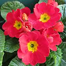 Ladies in Red - Scarlet Primroses by kathrynsgallery