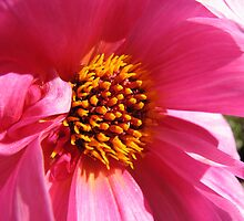 Pink Splendour - Fascination Dahlia by kathrynsgallery