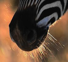 Stripes and whiskers by Bassy