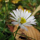 Daisy in Autumn by orko