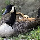 Canada Goose in all it's Beauty. by vette