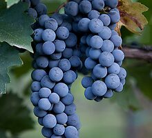Grapes, Napa Valley, California by Brendon Perkins